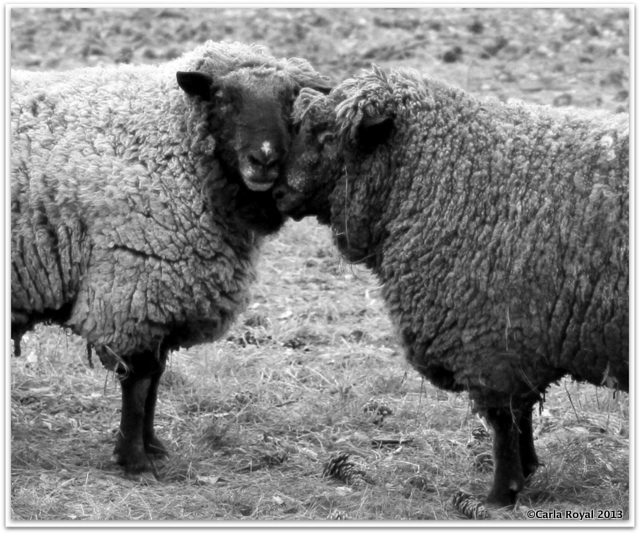 I Love Ewe: Even the sheep are feeling the Valentine's Day love at Serenbe.